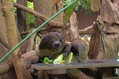 Zoo_Faultier