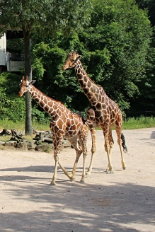 Zoo_Giraffen