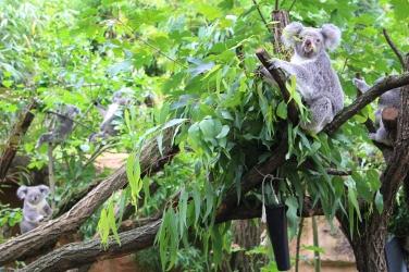 Zoo_Koala